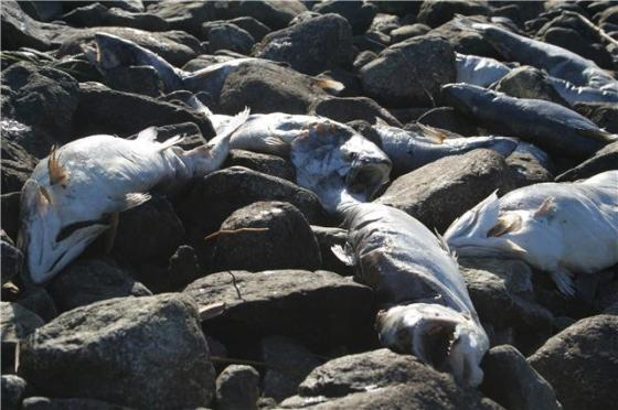 Mortandad de Salmones botada en una playa en las cercanías de Melinka.