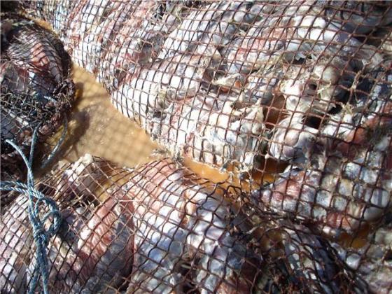 Salmones pudriéndose, de propiedad de la empresa Aqua Chile en las cercanías de Melinka.